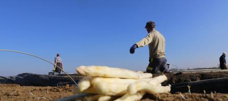 arbeider oogst asperges onder stralende zon