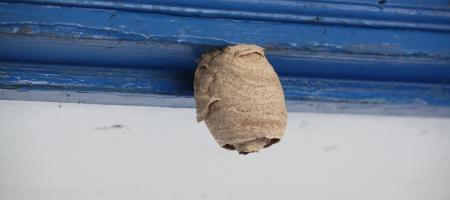 een embryonest van de Aziatische hoornaar hangt aan een balk