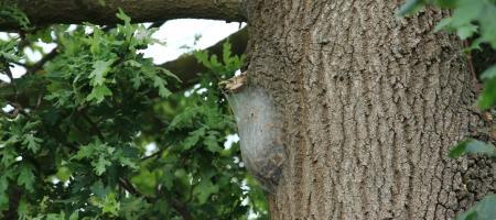 eikenboom met op de zijkant een nest van processierupsen