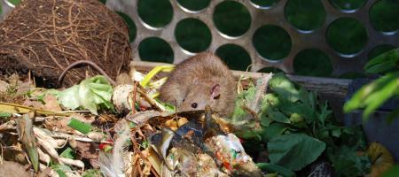 ratten op composthoop