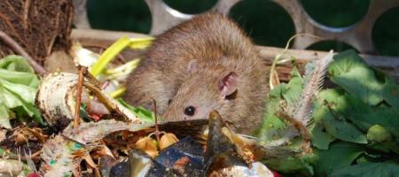 rat zoekt eten in composthoop