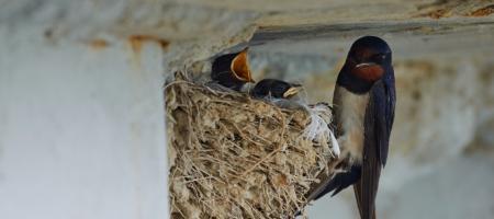 moeder zwaluw voedt haar jongen in haar nest