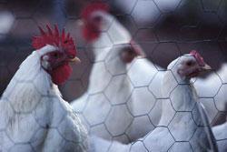 een aantal kippen zitten afgesloten in hun hok
